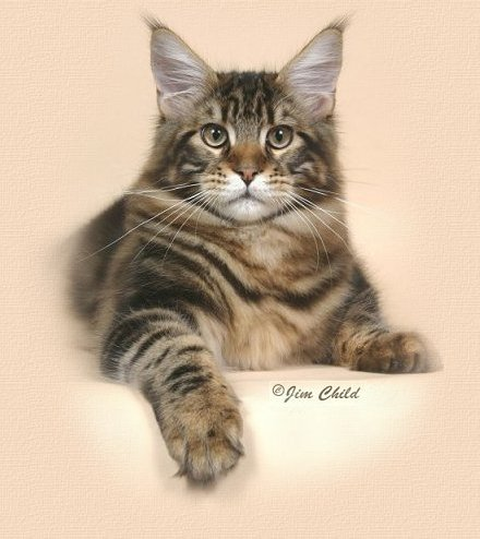 Maine Coon Cat Kenny