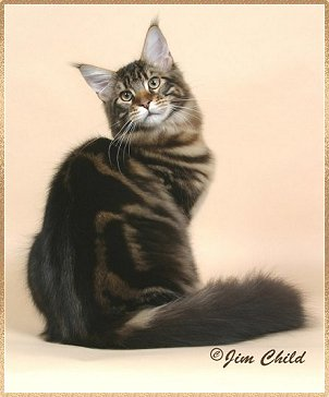 Maine Coon Cat ~ GC, RW Shubacoons Kenworth of Highlander, DM
