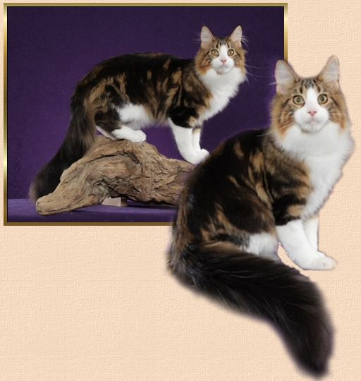 Rio tabby and white Maine Coon Male