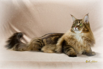 Highlander maine coon cattery